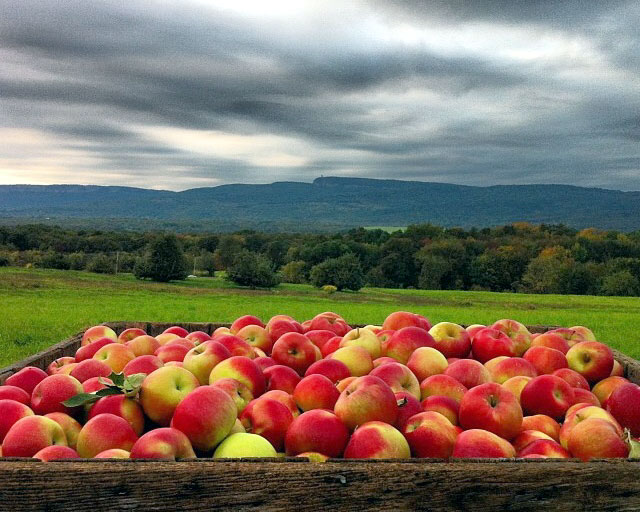 Apple Picking in the Hudson Valley